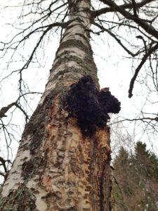 Chaga Pilz an Birke in Finnland