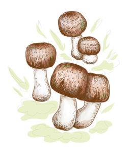 Agaricus blazei murill Illustration