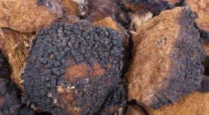 Antiviral Wirkung Chaga Pilz